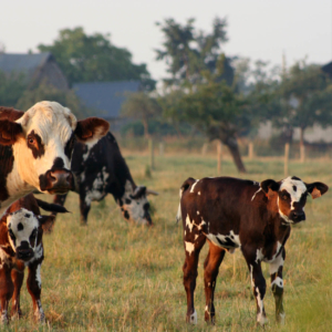 cow normandy pays auge gourmet tour