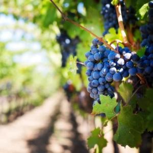 vignes vignoble val de loire